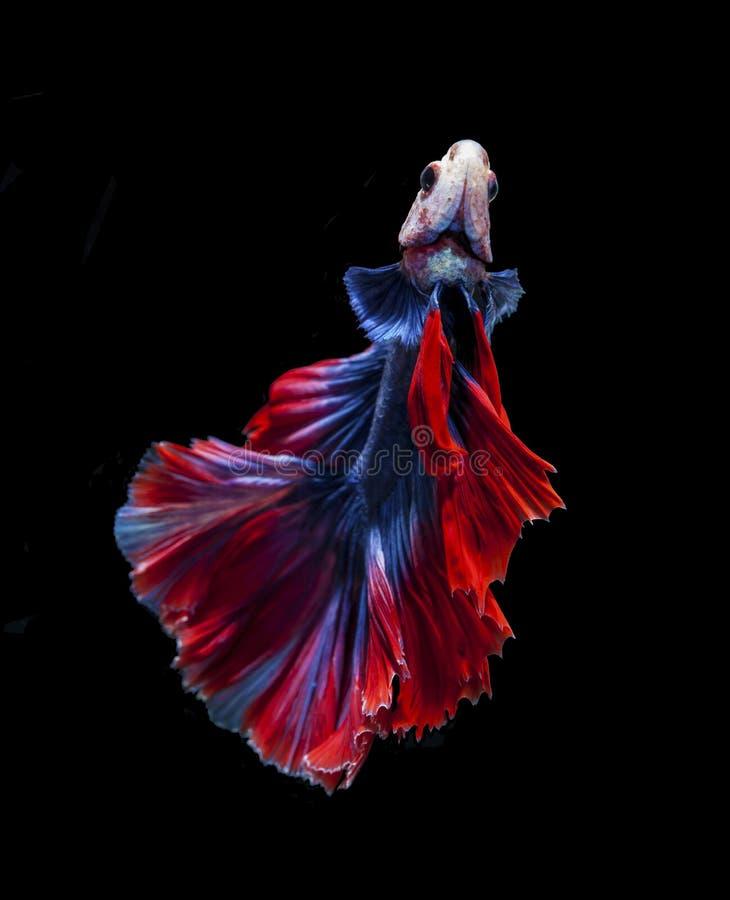Rode en blauwe die siamese het vechten vissen, bettavissen op zwarte worden ge?soleerd royalty-vrije stock foto