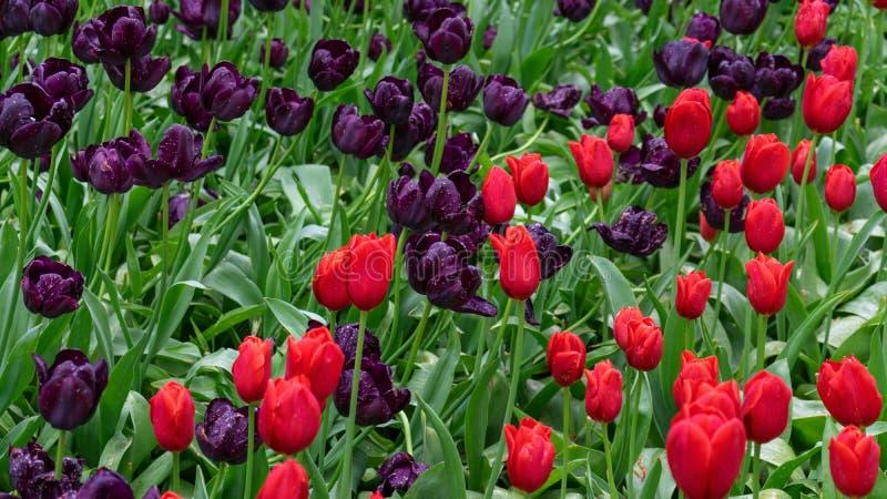 Rode en Donkere Purpere Tulpenbloemen in de lentetuin stock foto's