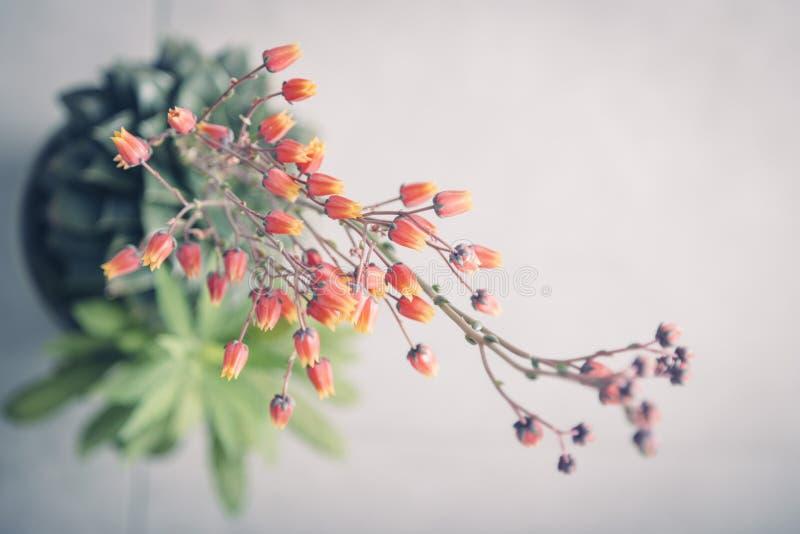 Rode en gele cactusbloemen in bloei op een grijze achtergrond royalty-vrije stock fotografie