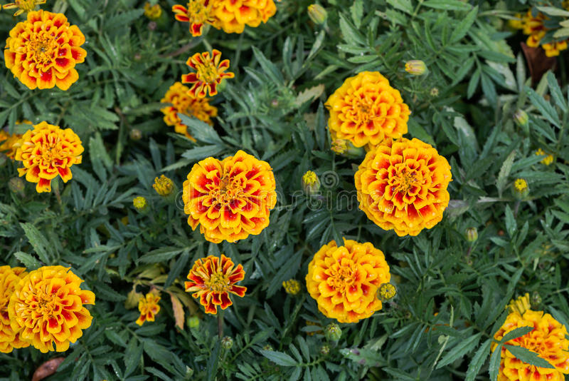 Rode en gele goudsbloembloem royalty-vrije stock fotografie