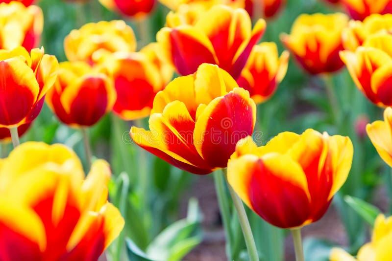 Rode en gele mooie tulpen in de lente, bloemachtergrond royalty-vrije stock foto's