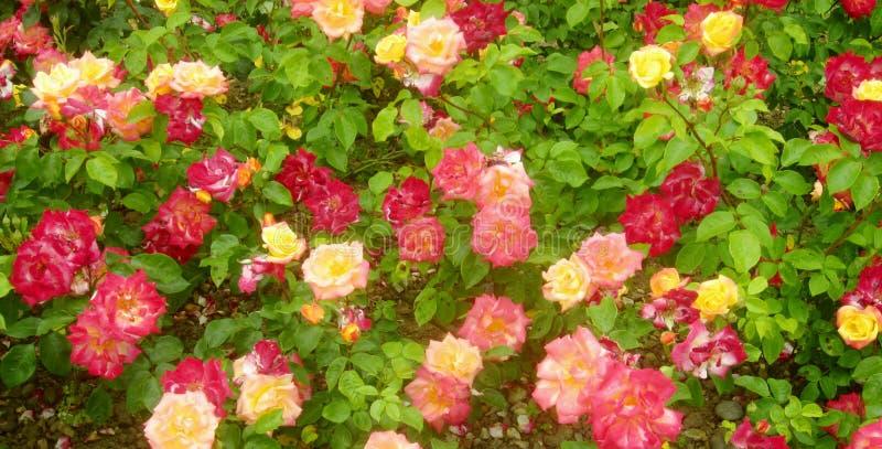 Rode en gele rozen 3 stock foto's