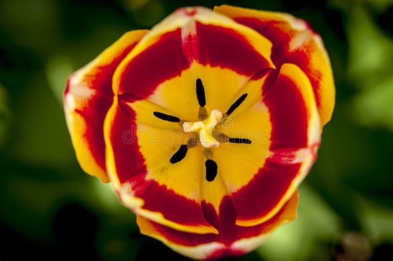 Rode en gele tulp royalty-vrije stock afbeelding