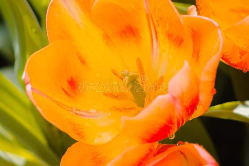 Rode en gele tulp open na de regen stock foto