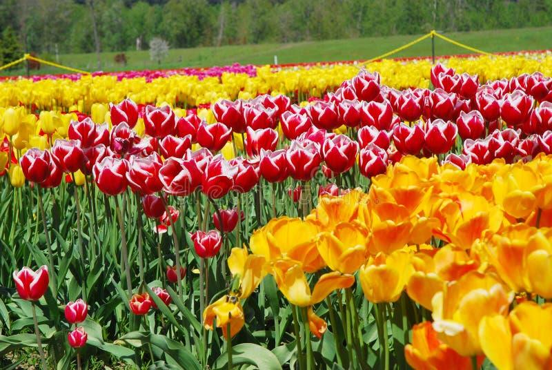 Rode en Gele Tulpen royalty-vrije stock afbeelding
