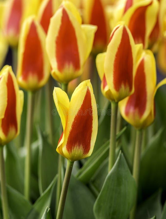 Rode en gele tulpen royalty-vrije stock foto