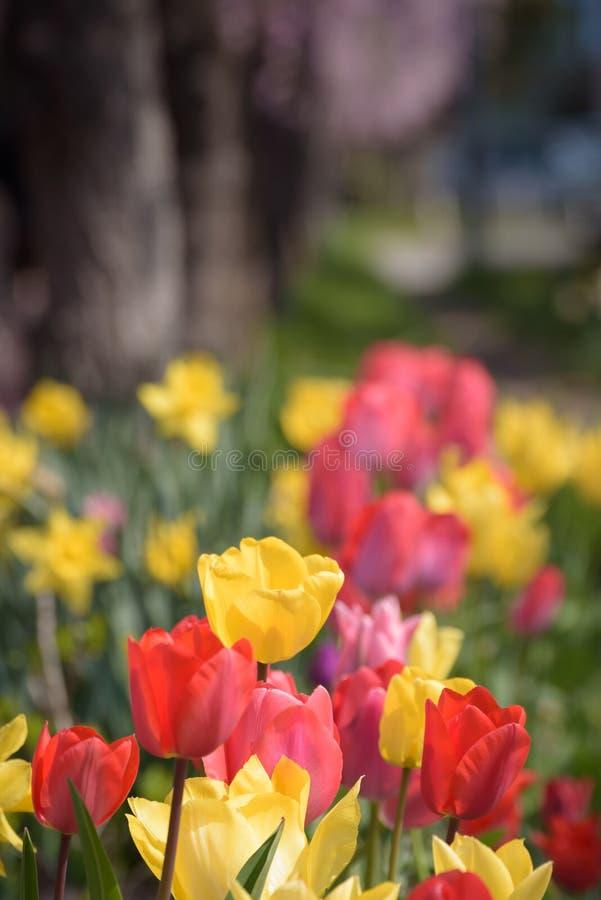 Rode en gele tulpen met de achtergrond van de Kersenboom stock fotografie