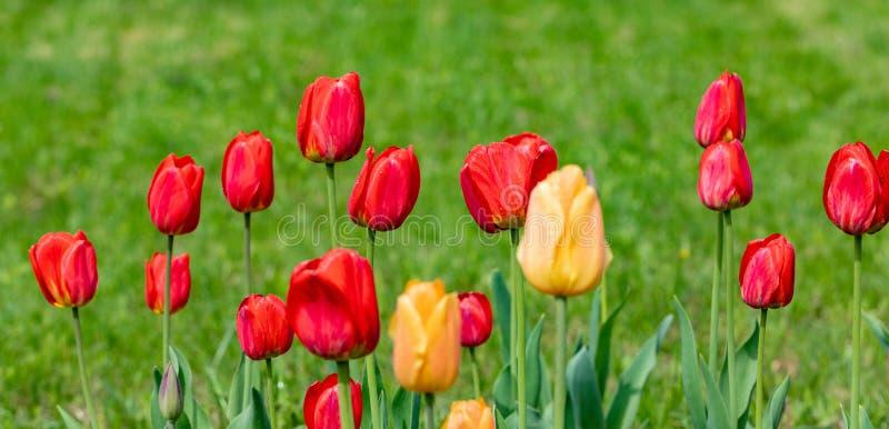 Rode en gele tulpen met regendruppels op een achtergrond van groen gras royalty-vrije stock afbeelding