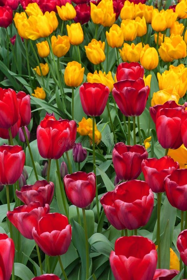 Rode en gele tulpen op een zonnige dag royalty-vrije stock foto