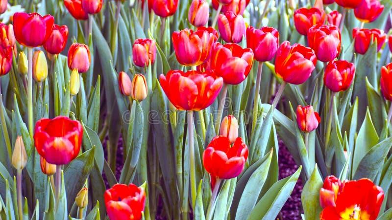 Rode en gele tulpenbloemen royalty-vrije stock foto's