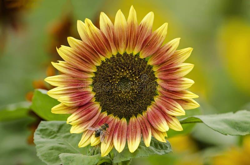 Rode en gele zonnebloem royalty-vrije stock foto's