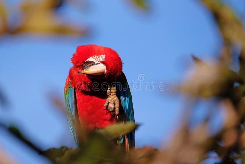 Rode en Groene Ara, Ara Chloropterus, Buraco Das Araras, dichtbij Boniter, Pantanal, Brazilië stock afbeelding