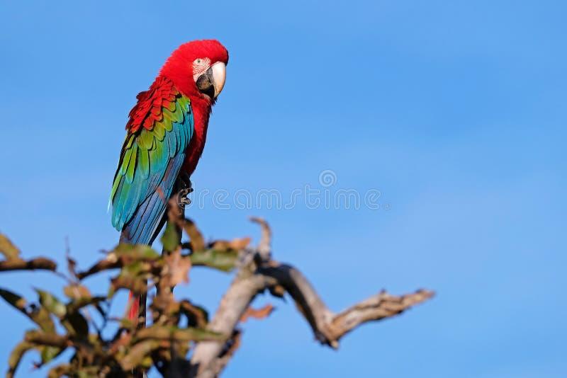 Rode en Groene Ara, Ara Chloropterus, Buraco Das Araras, dichtbij Boniter, Pantanal, Brazilië stock foto's