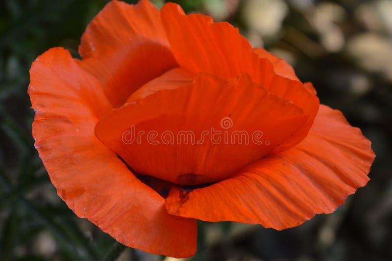 Rode en groene papaverbloem stock afbeeldingen