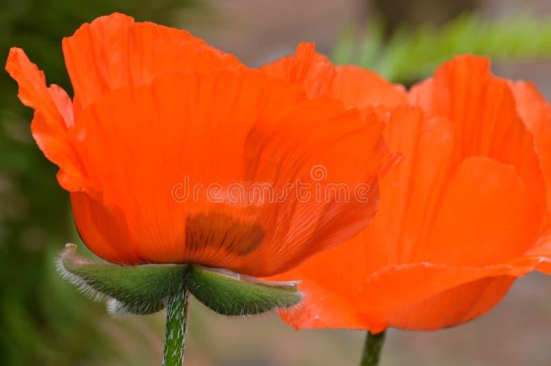 Rode en groene papaverbloem stock foto's