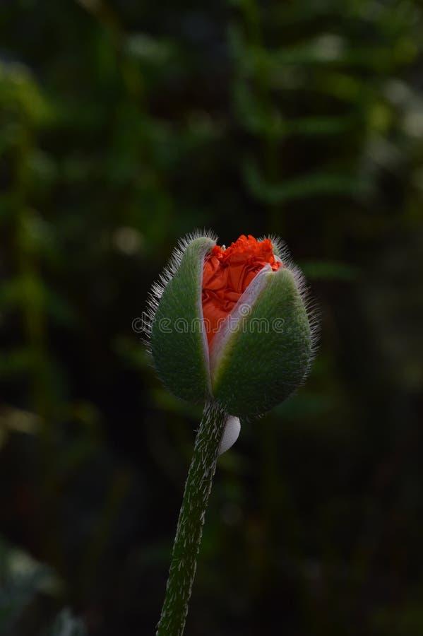 Rode en groene papaverbloem royalty-vrije stock fotografie