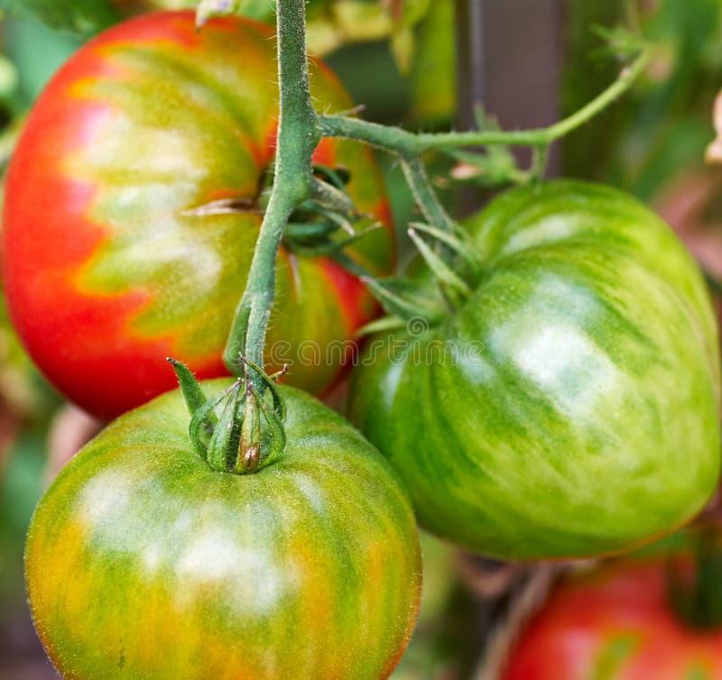 Rode en groene tomaten in de tuin stock afbeeldingen