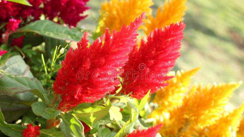 Rode en Oranje Hanekambloem Geel, plumed royalty-vrije stock afbeelding