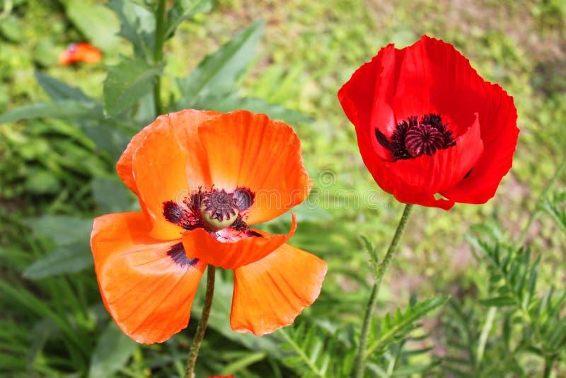 Rode en oranje papaverbloemen royalty-vrije stock afbeelding