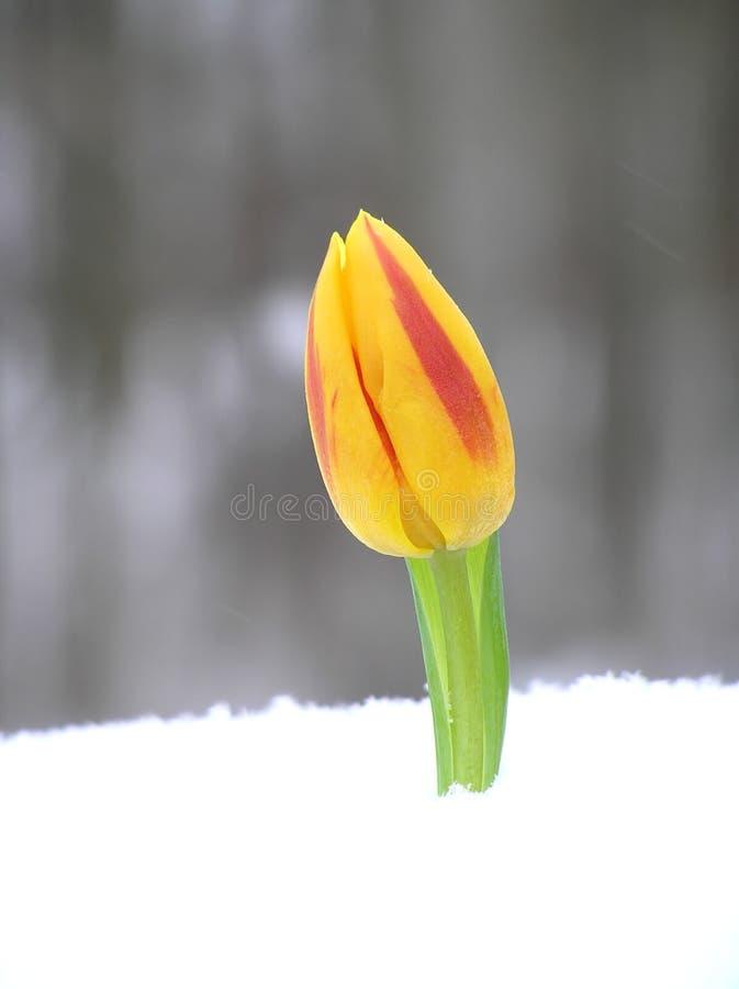 Rode en oranje tulp royalty-vrije stock afbeelding
