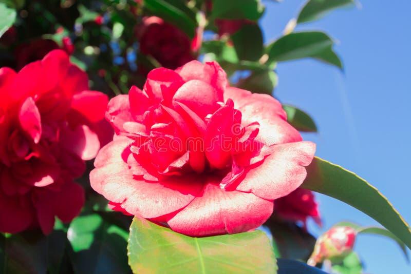 Rode en roze cameliabloem royalty-vrije stock foto's