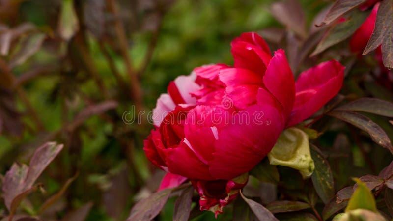 Rode en roze Itoh-Pioen in de lentetuin stock foto's
