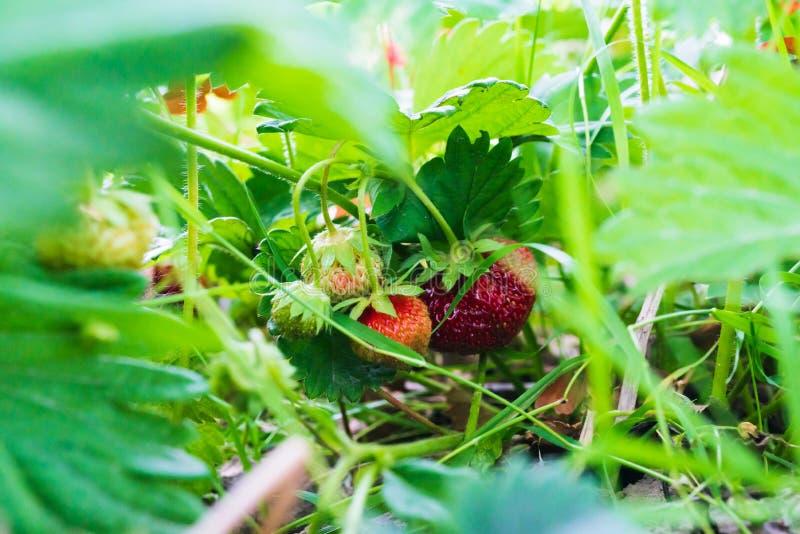 Rode en witte aardbei in de tuin stock afbeelding