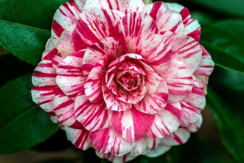 Rode en Witte Camellia Flower stock afbeeldingen