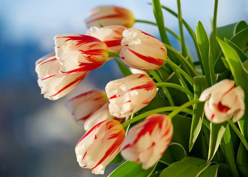 Download Rode En Witte Mooie Tulpenclose-up Stock Afbeelding - Afbeelding bestaande uit nave, achtergrond: 39107041