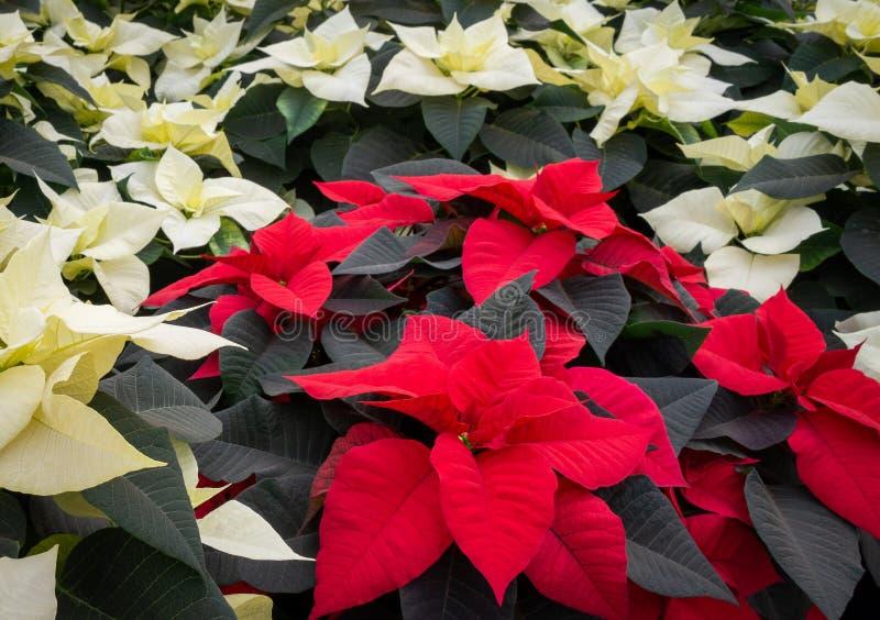 Rode en witte poinsettiabloemen stock afbeeldingen