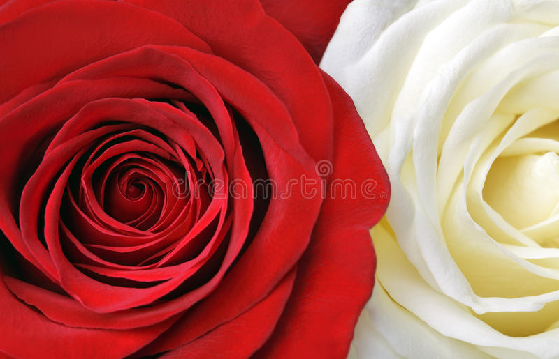 Rode en witte rozen stock fotografie