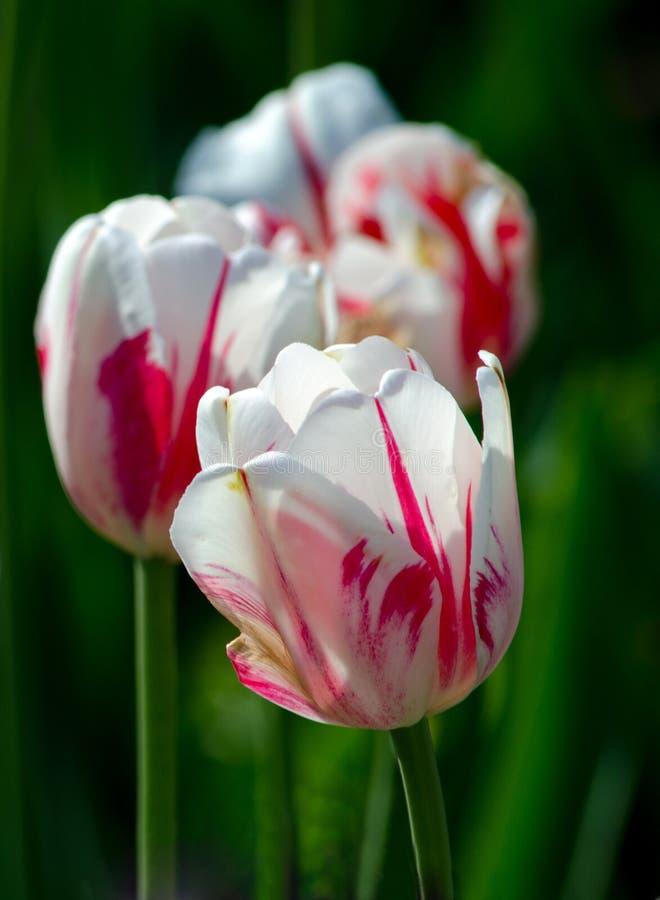 Rode en witte tulpen op een rij royalty-vrije stock afbeelding