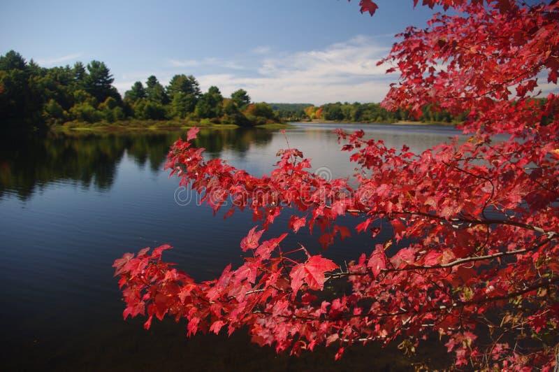 Rode esdoorn in de herfst royalty-vrije stock afbeeldingen