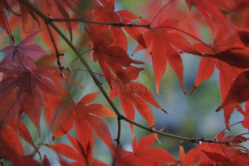 Rode esdoorn in de herfst royalty-vrije stock fotografie