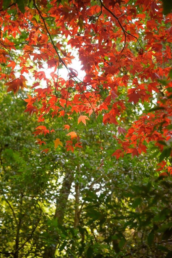 Rode esdoorn in het bos royalty-vrije stock afbeeldingen