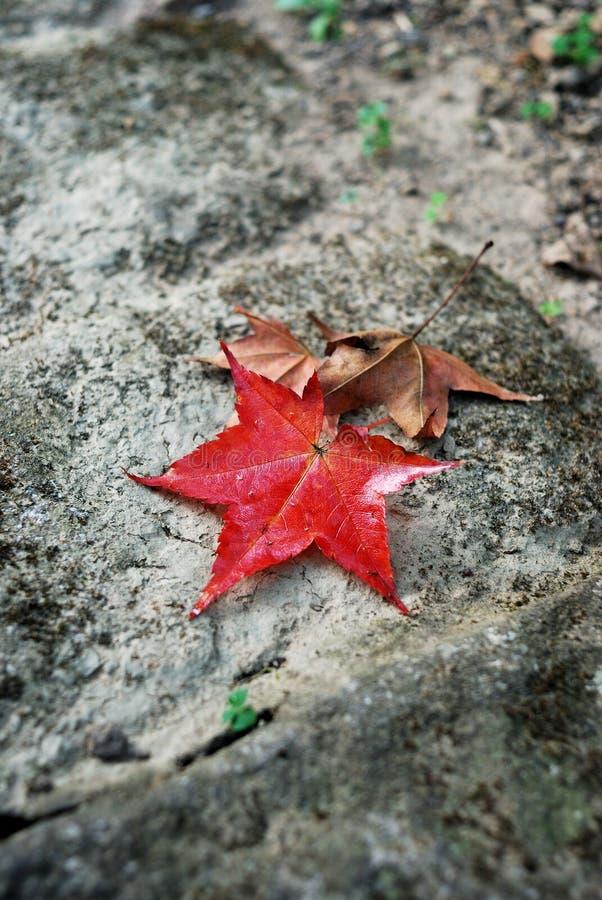 Rode esdoornbladeren royalty-vrije stock afbeelding