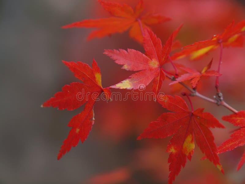 Rode Esdoornbladeren royalty-vrije stock afbeeldingen
