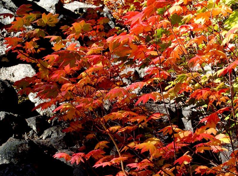 Rode esdoornbladeren in daling royalty-vrije stock afbeeldingen