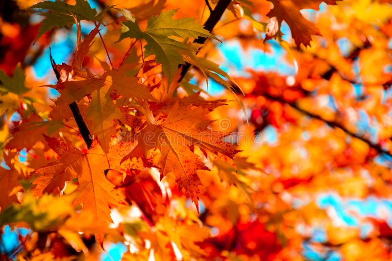 Rode esdoornbladeren in de herfstseizoen met blauwe hemelachtergrond Selectieve nadruk stock fotografie