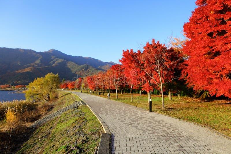 Rode esdoornboom stock foto