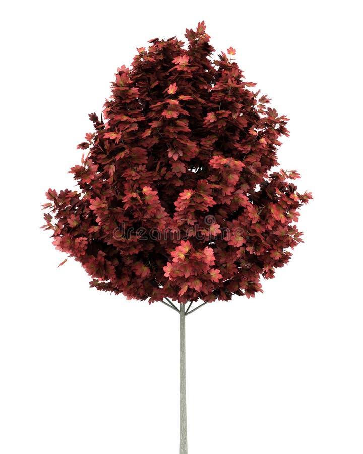 Rode esdoornboom die op wit wordt geïsoleerdo royalty-vrije illustratie