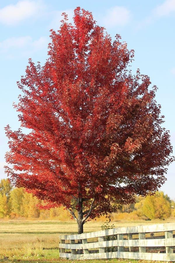 Rode esdoornboom met houten omheining royalty-vrije stock afbeeldingen