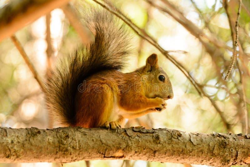 Rode euroasian eekhoorn op de esdoorntak stock foto