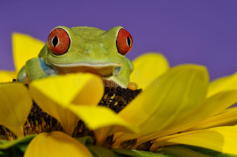 Rode eyed boomkikker stock afbeelding