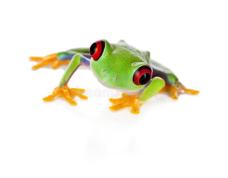 Rode eyed kikker die op wit wordt geïsoleerdn royalty-vrije stock afbeeldingen