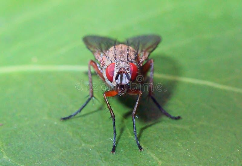 Rode eyed vlieg op een groen blad royalty-vrije stock foto