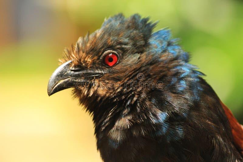 Rode Eyed Vogel royalty-vrije stock foto