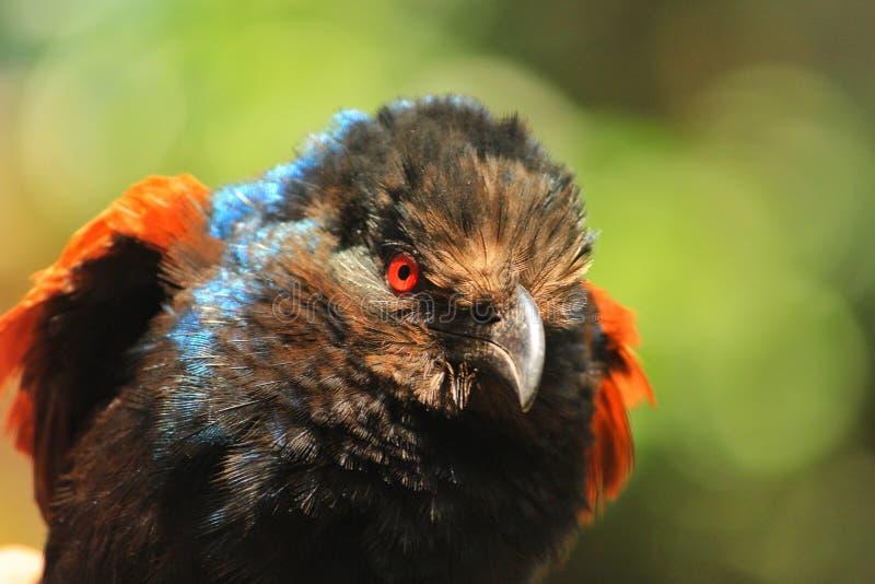 Rode Eyed Vogel stock fotografie