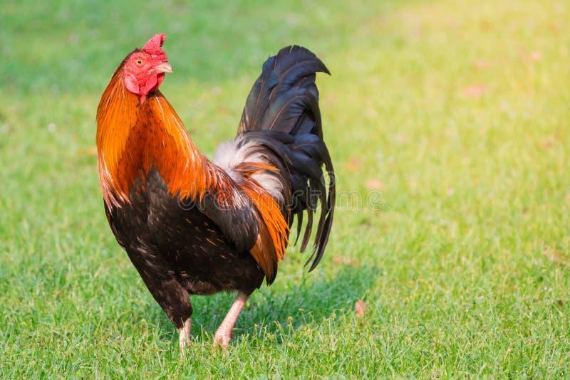 Rode gallus van junglefowlgallus de binnenlandse kip die zich op groen gras met geel zonlicht bevinden royalty-vrije stock foto's