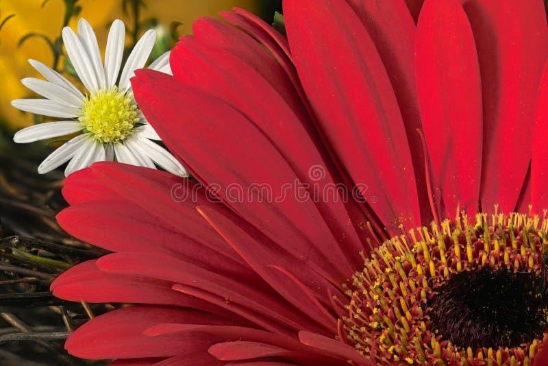 Download Rode gardenia en dasy stock afbeelding. Afbeelding bestaande uit installatie - 287825